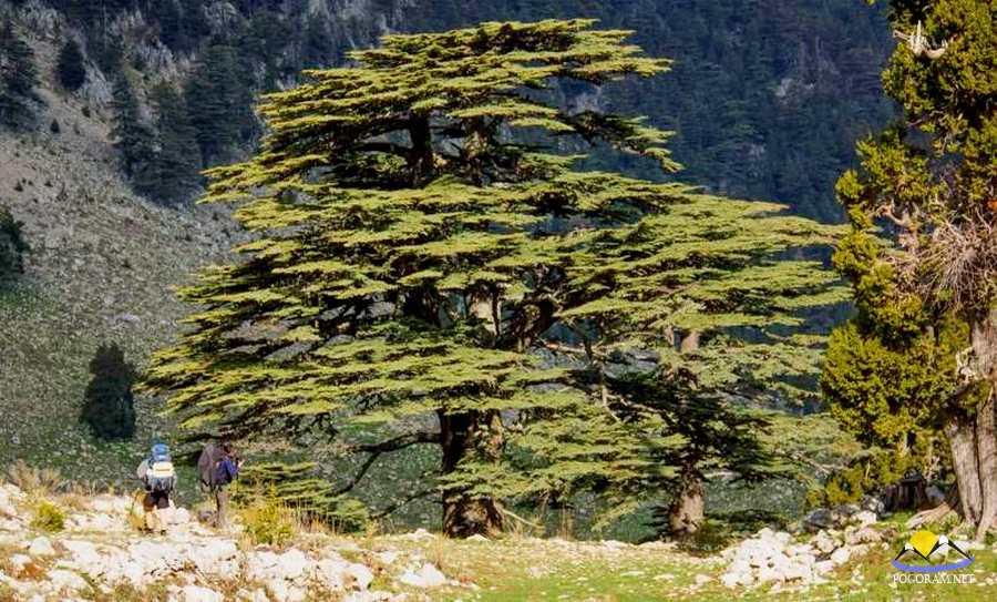 таком ливанский кедр в турции фото красной